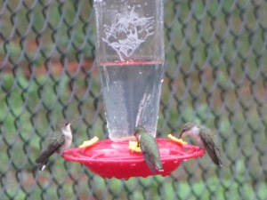 Hummingbirds, Summer '12